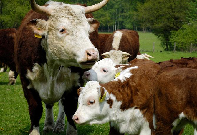 De Wolfskuil-Hereford koeien
